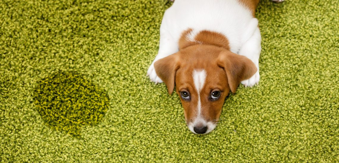 how to get dog urine out of carpet